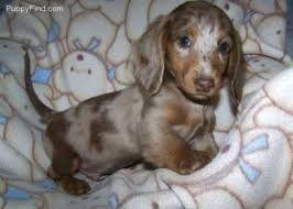 Image Result For Miniature Chocolate Dapple Dachshund Adult Size
