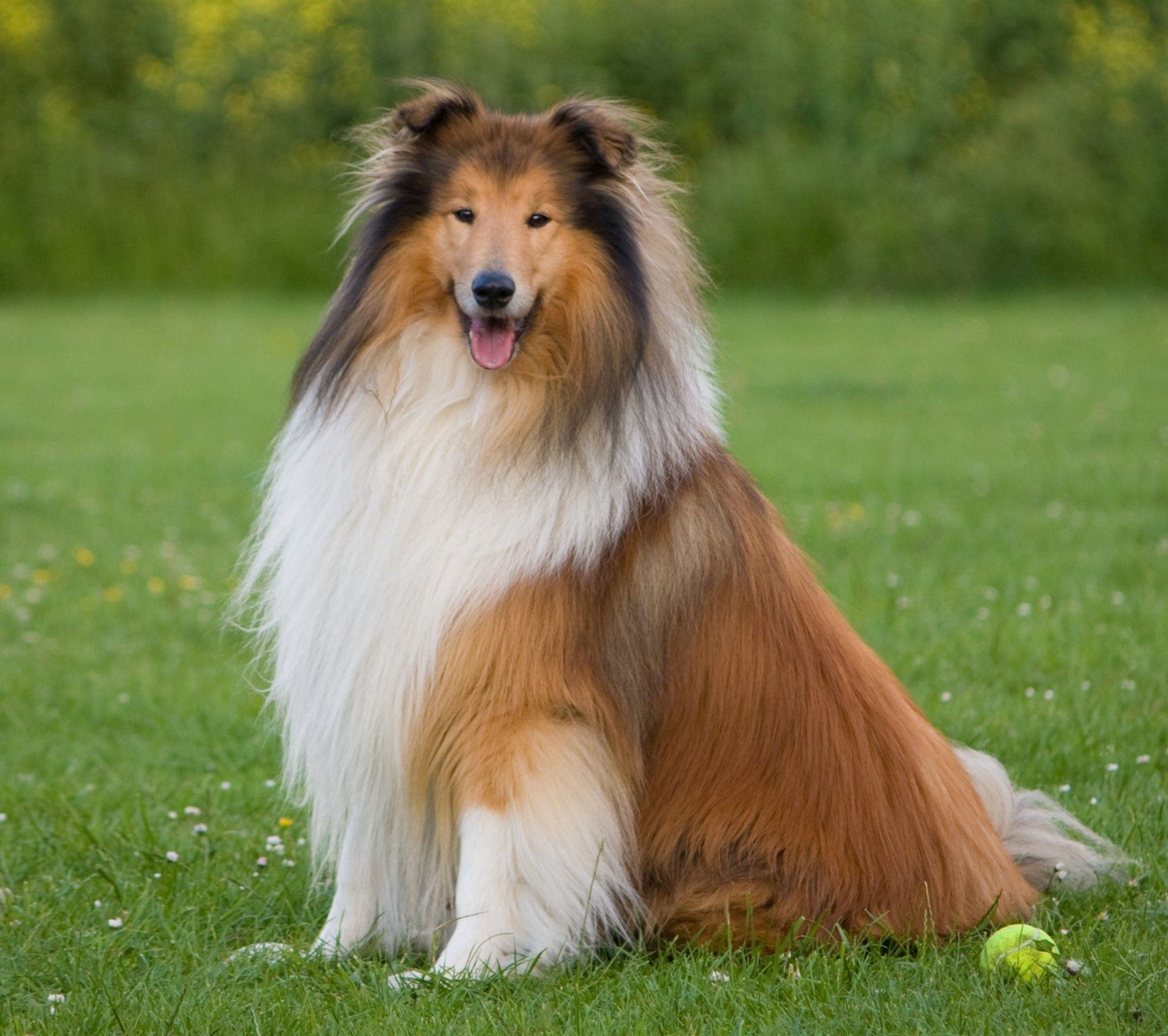 Dog Rough Collie Free Stock Photo Dog Breeds Rough Collie