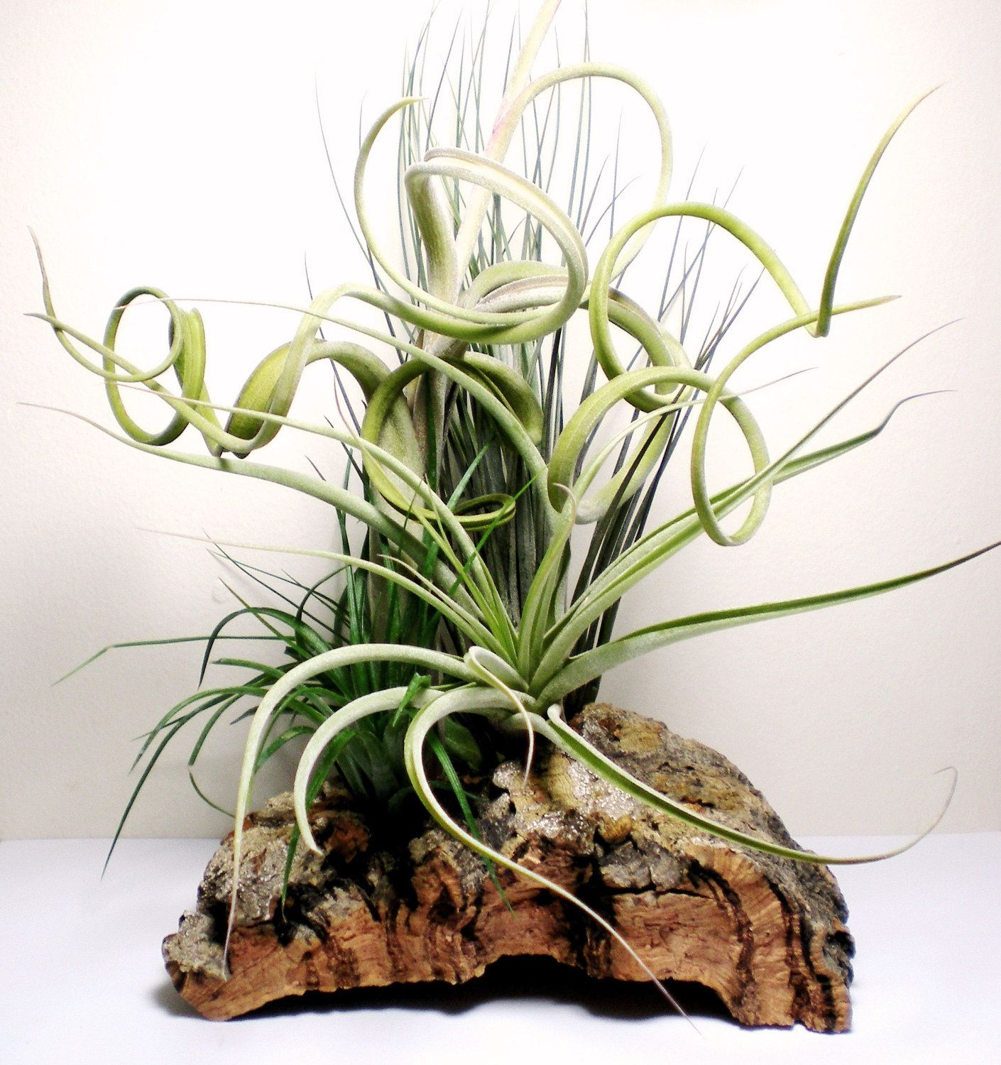 Air Plant Centerpiece Tillandsias on Cork Bark Table Top