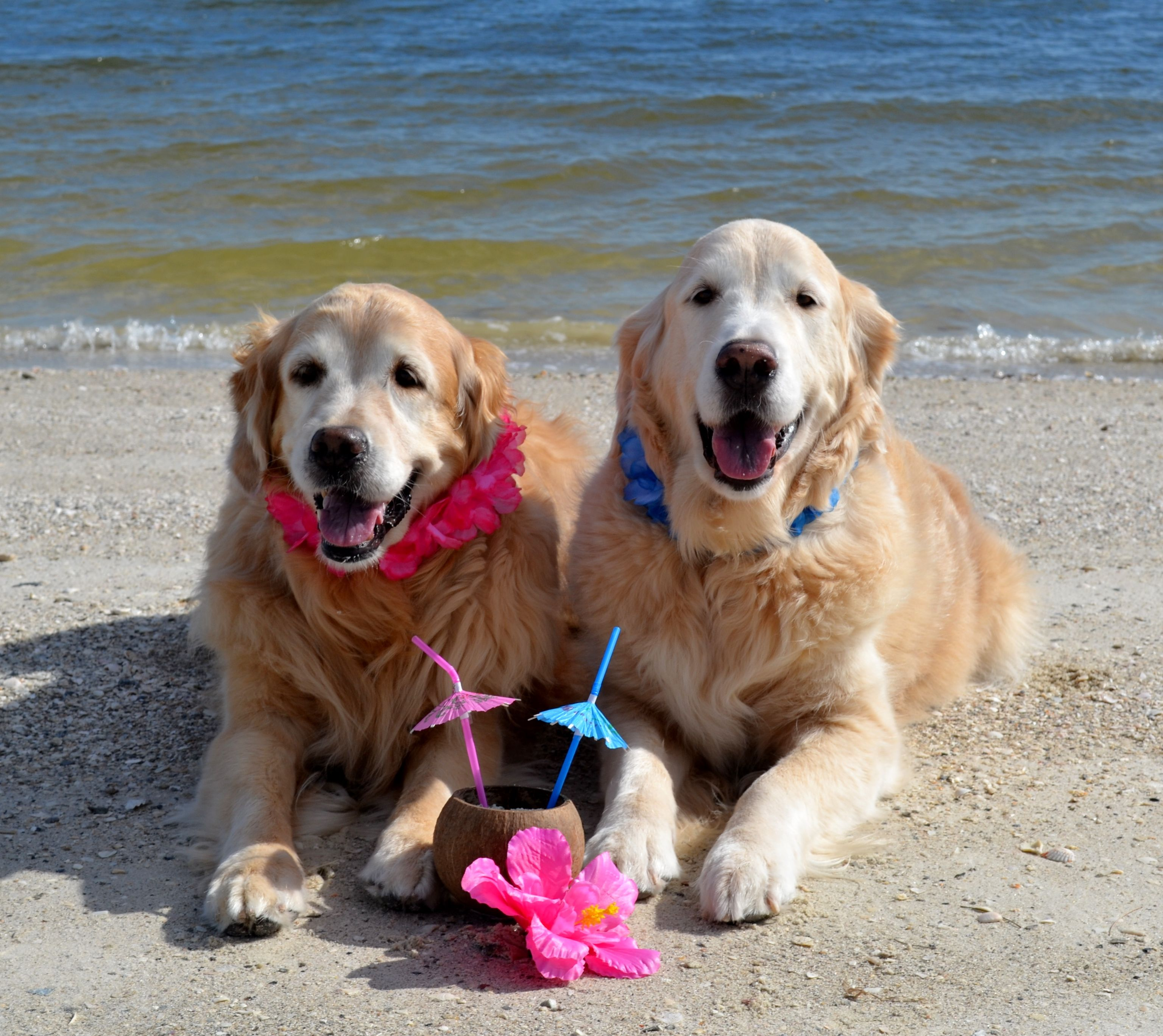Tropical Day D Brie And Ben Dogs And Puppies Golden Retriever Tropical
