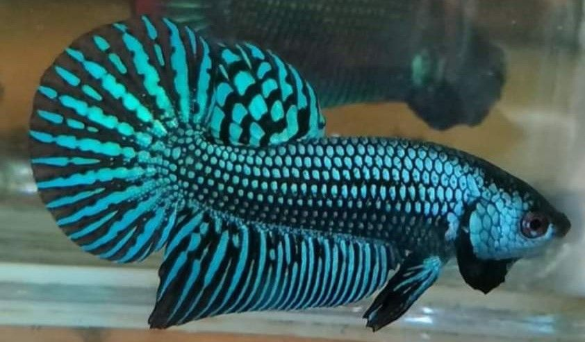 Pin By Godspeed On Fighting Fish Hybrids Betta Fish Types Betta Fish Fish Pet