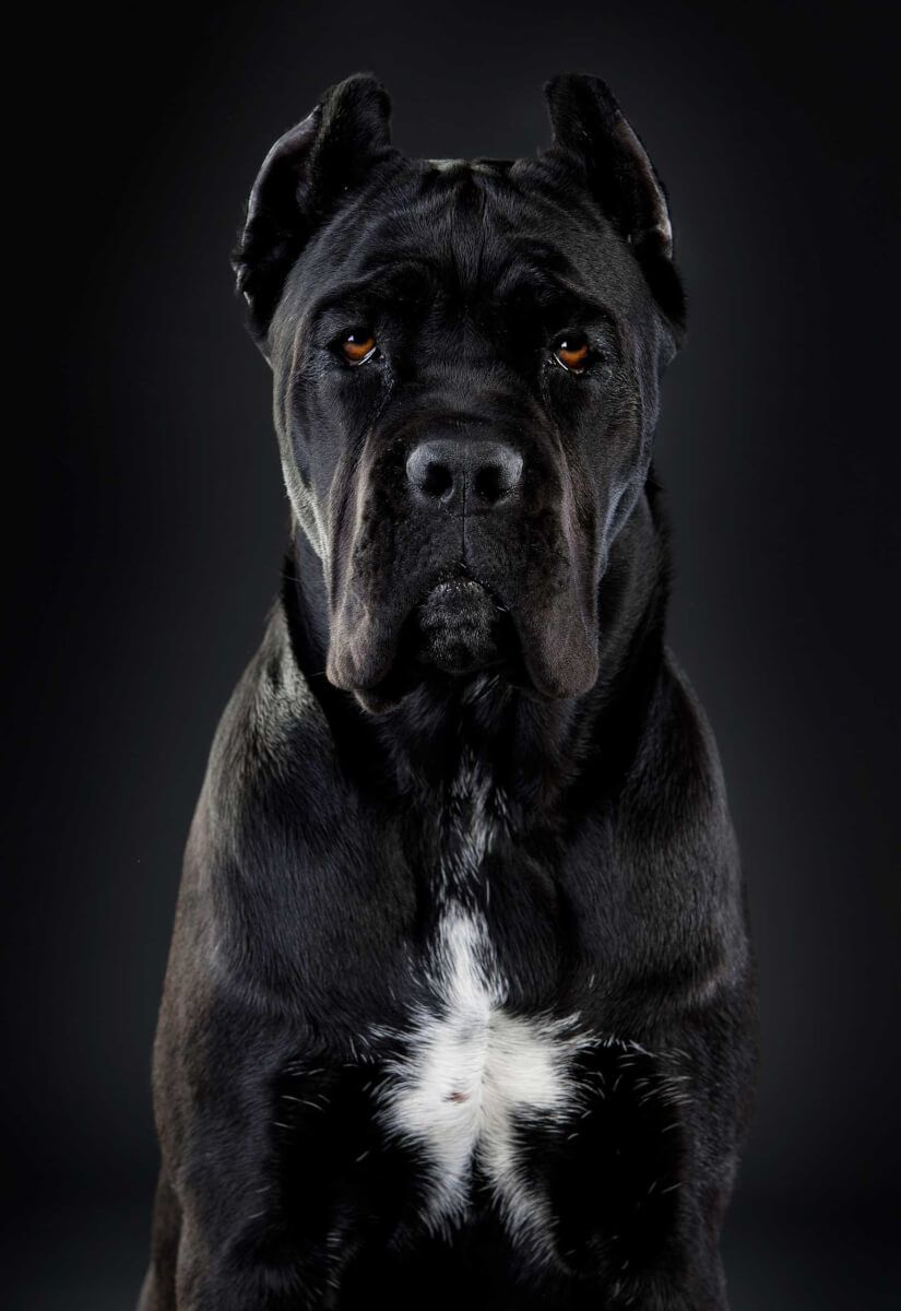 All Black Cane Corso Google Search Corso Dog Cane Corso Dog Breed Cane Corso Dog