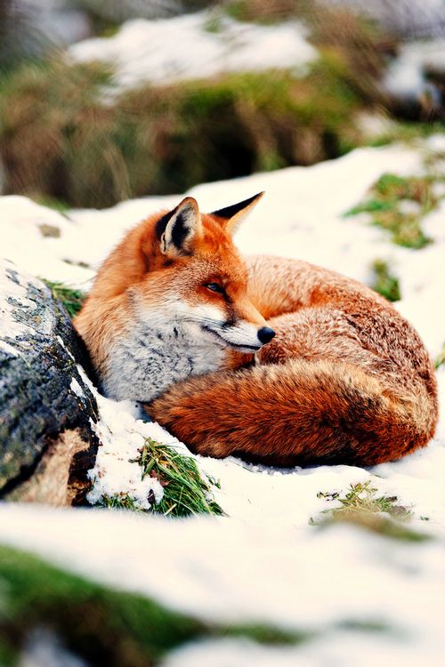 beautifull colors in this foxy picture  H4ilstorm: Warm Wishes (by Asbimages.co.uk)