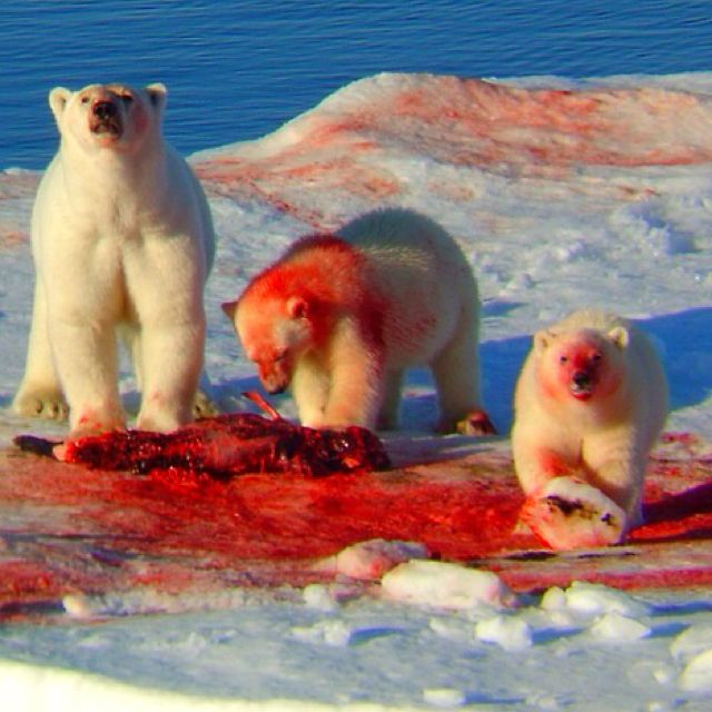 bloody polar bear meme