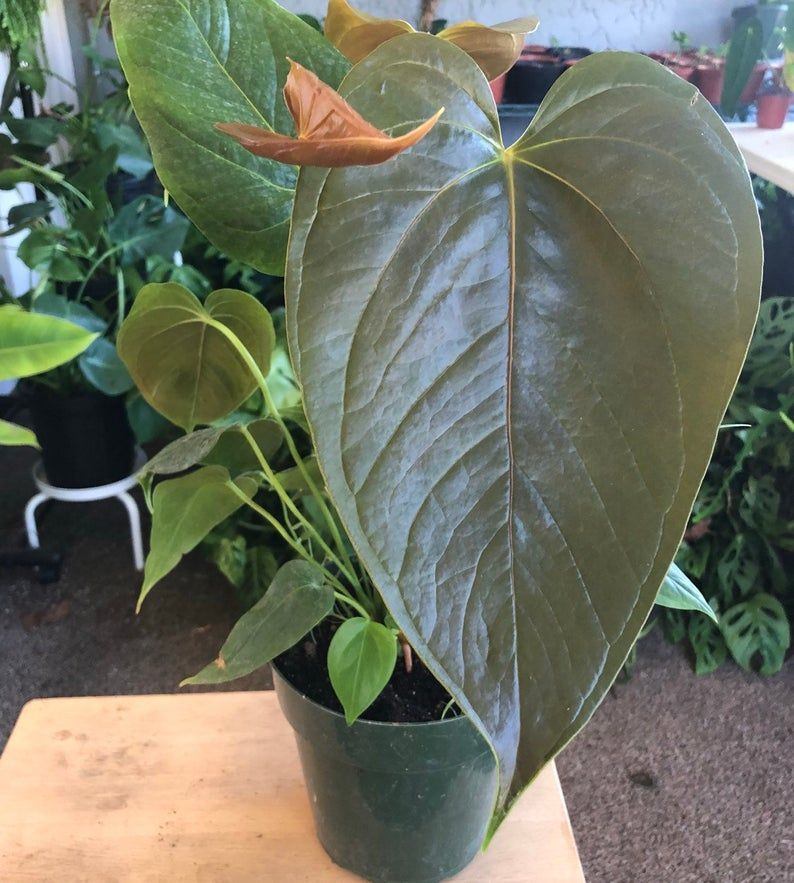 Anthurium X Red Leaf 1 Live Plant Plants Plant Leaves Live Plants
