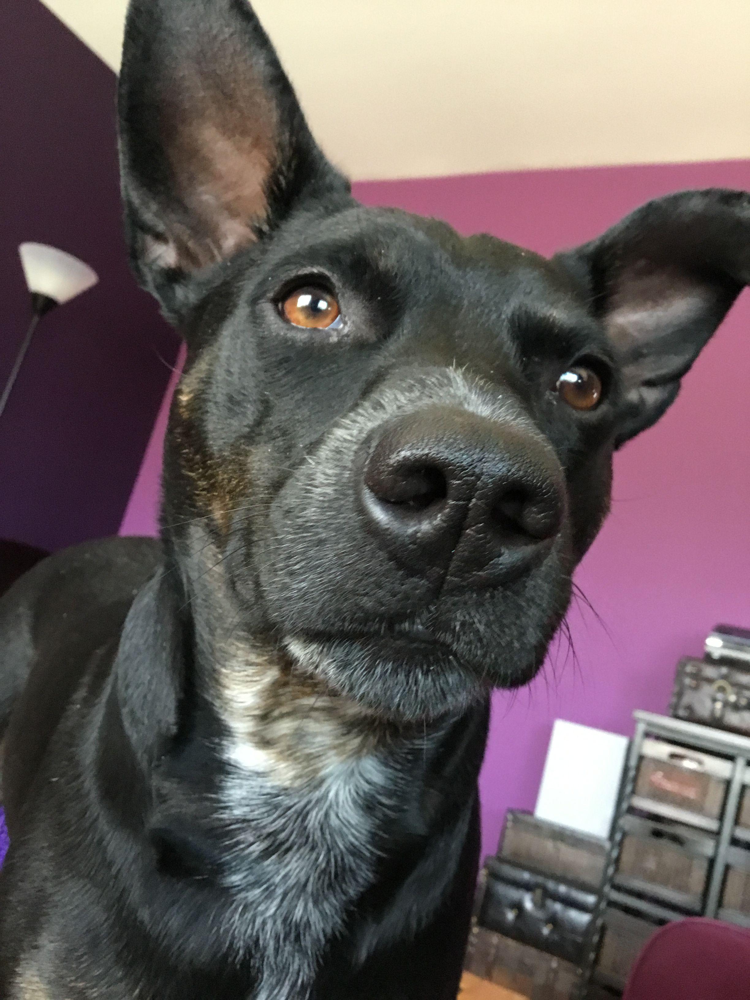 Jetta Manchester Terrier Australian Blue Heeler (cattle
