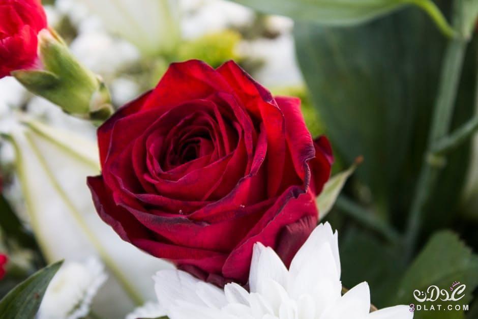 احلى ورود 2019 جوده عالية زهور 3dlat Net 26 17 9f38 Good Morning Roses Good Morning Rose Images Good Morning Images Flowers