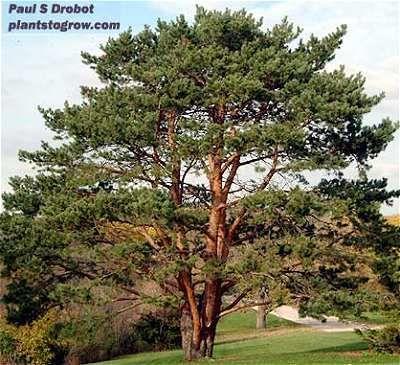 Pinus sylvestris L. image