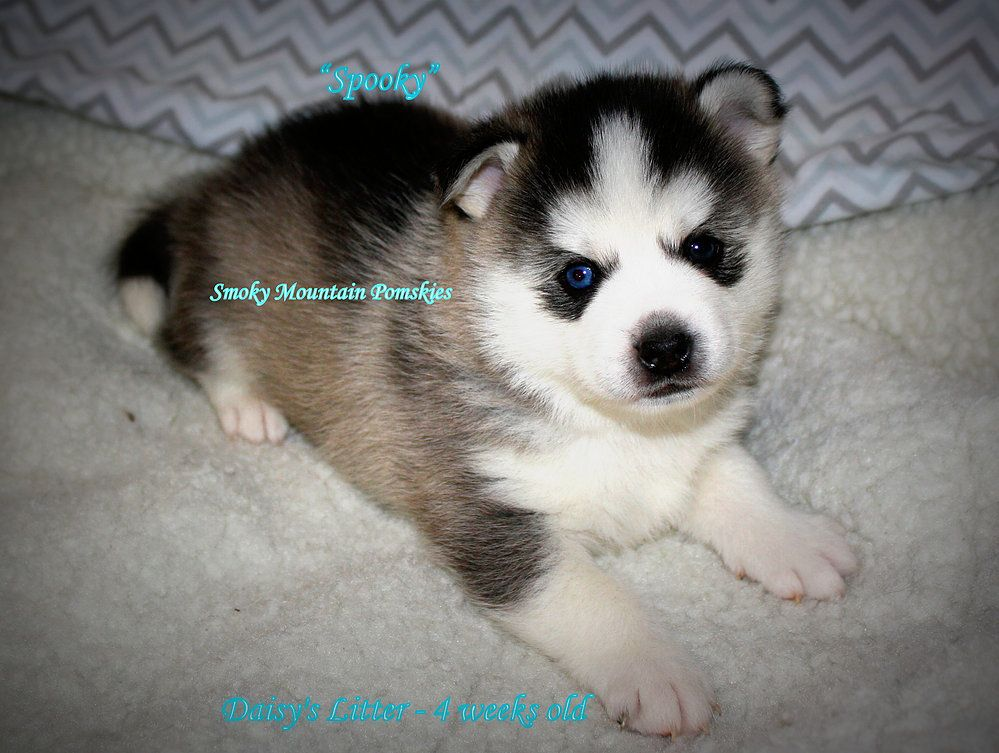 Gallery Of Pictures Of Our Pomskies Huskies Puppies We Have Had