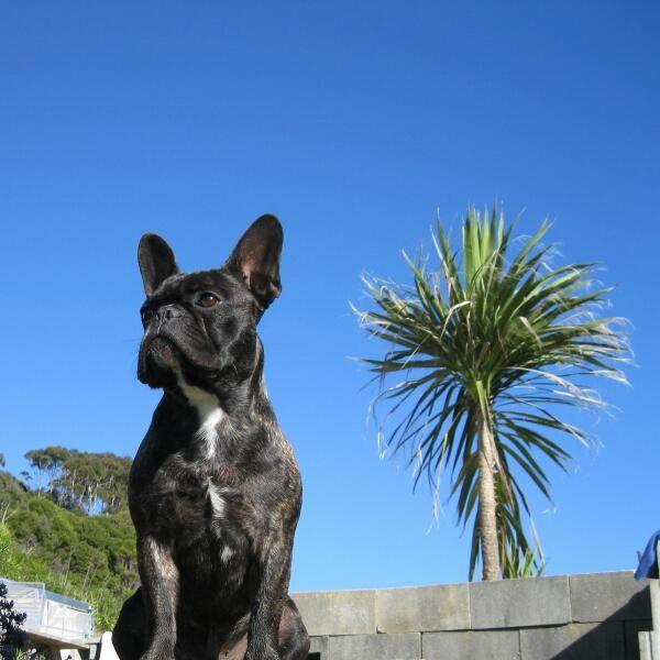 Theo French Bulldog Pawshake Auckland