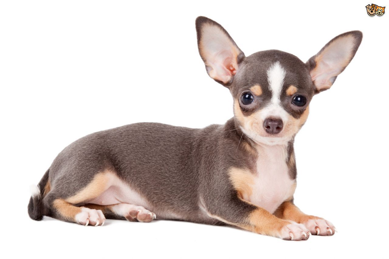 6 different types of chihuahuas dog mixes breeds with pictures different types of chihuahua geenschuldenfo Gallery