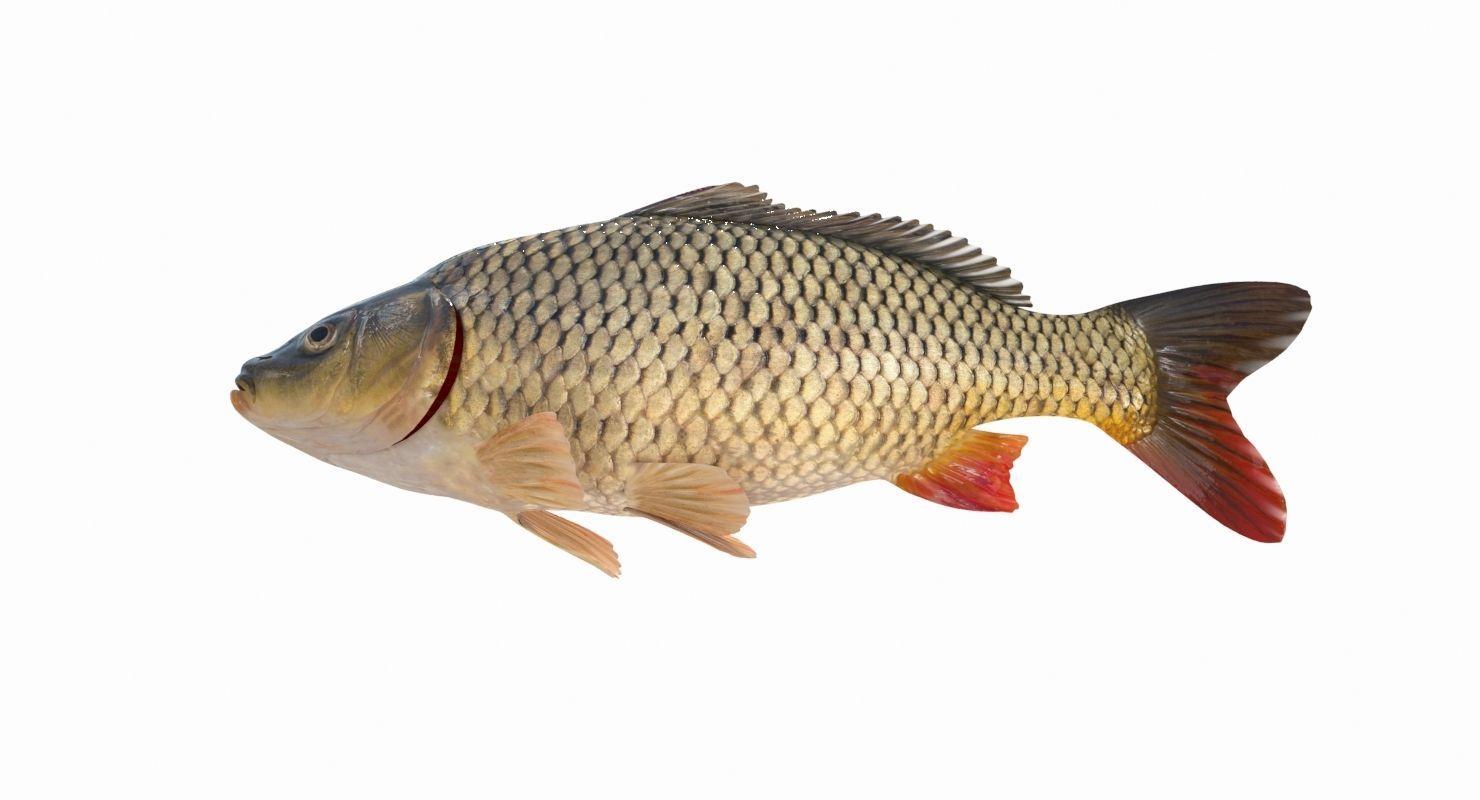 Carp Fish 3d Model Animated Animation Nature Animals Sea Creatures