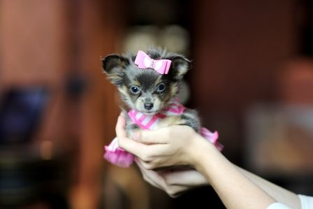 Blue Tan Long Haired Teacup Chihuahua Charlize Call