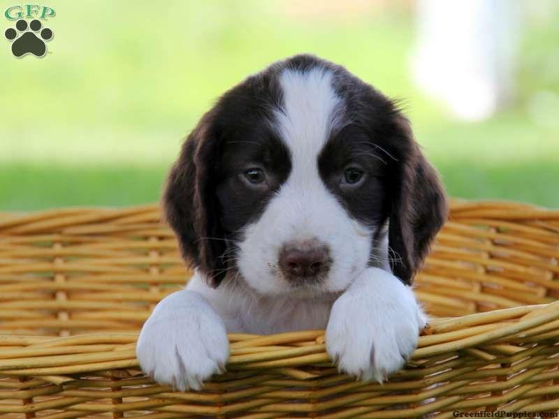 Sierra , English Springer Spaniel puppy for sale in