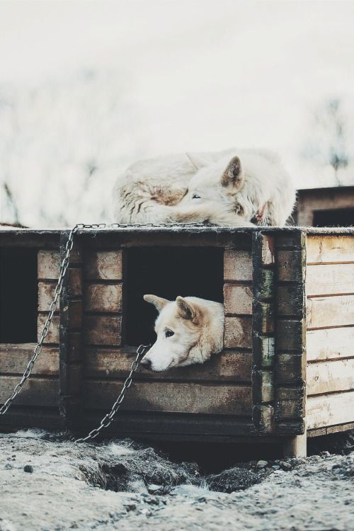ikwt: Huskies (lebackpacker) | instagram