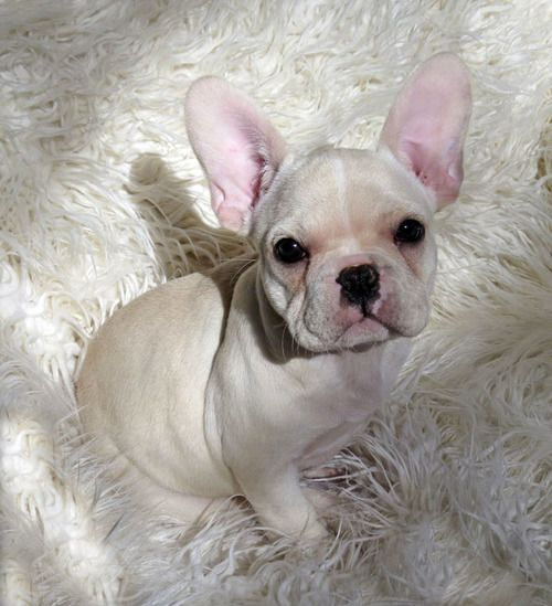 Pin By Kelli Rumsey On Frenchies French Bulldog Puppies Bulldog Puppies Bulldog