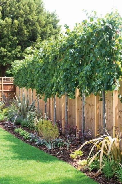Lime trees tilia perfect for above fence screening for Green privacy fence ideas