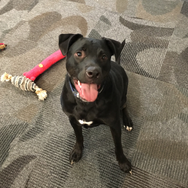 Meet Odin He S A One Year Old Playful Lab Mix Available For Adoption In The Sf Bay Area Through Maddie S Fund Behavior Problems Animal Shelter Behavior