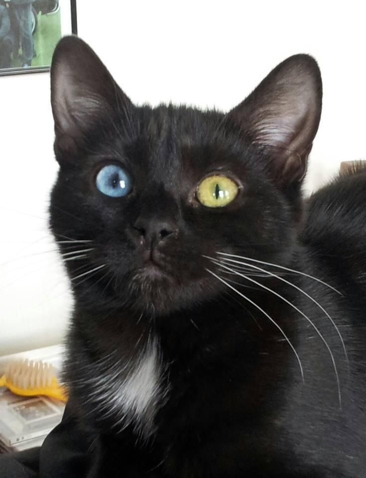 Blue And Green Eyed Black Kitten Cat Care Pretty Cats Cat Breeds