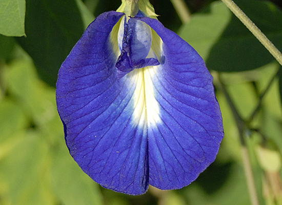 Clitoria ternatea herbaceous perennial produces an oddly shaped clitoria ternatea herbaceous perennial produces an oddly shaped purple flower with a soft touch of mightylinksfo