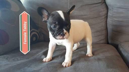 French Bulldog Puppy For Sale In Farmington Mo Adn 39972 On