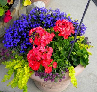 Bold colours! Blue Lobelia, bright pink Geranium, purple Alyssum, lime Creeping Jenny
