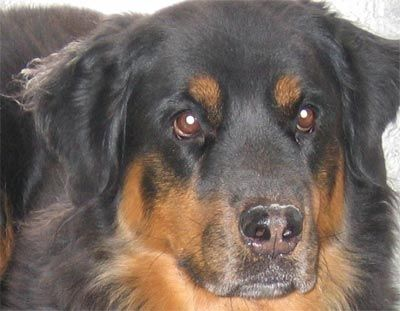 Rottweilers Dawgz Pinterest Rottweiler Dogs And Big Dogs