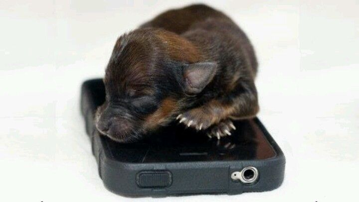 This Is The Record Breaking Tiny Yorkie Chihuahua Puppy Weighing
