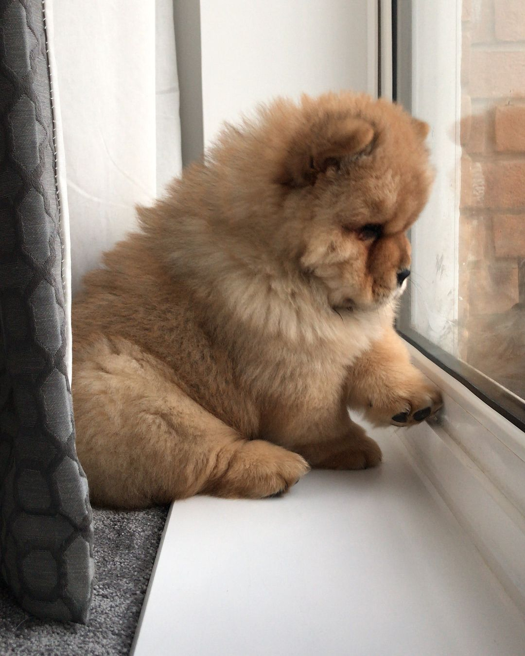 Chow Chow Cute Baby Animals Fluffy Dogs Chow Chow Puppy