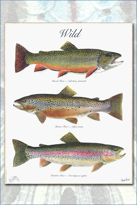 45be22b2bc5 The WILD Poster a 3 trout poster by Flick by FlickFordFishPrints ...