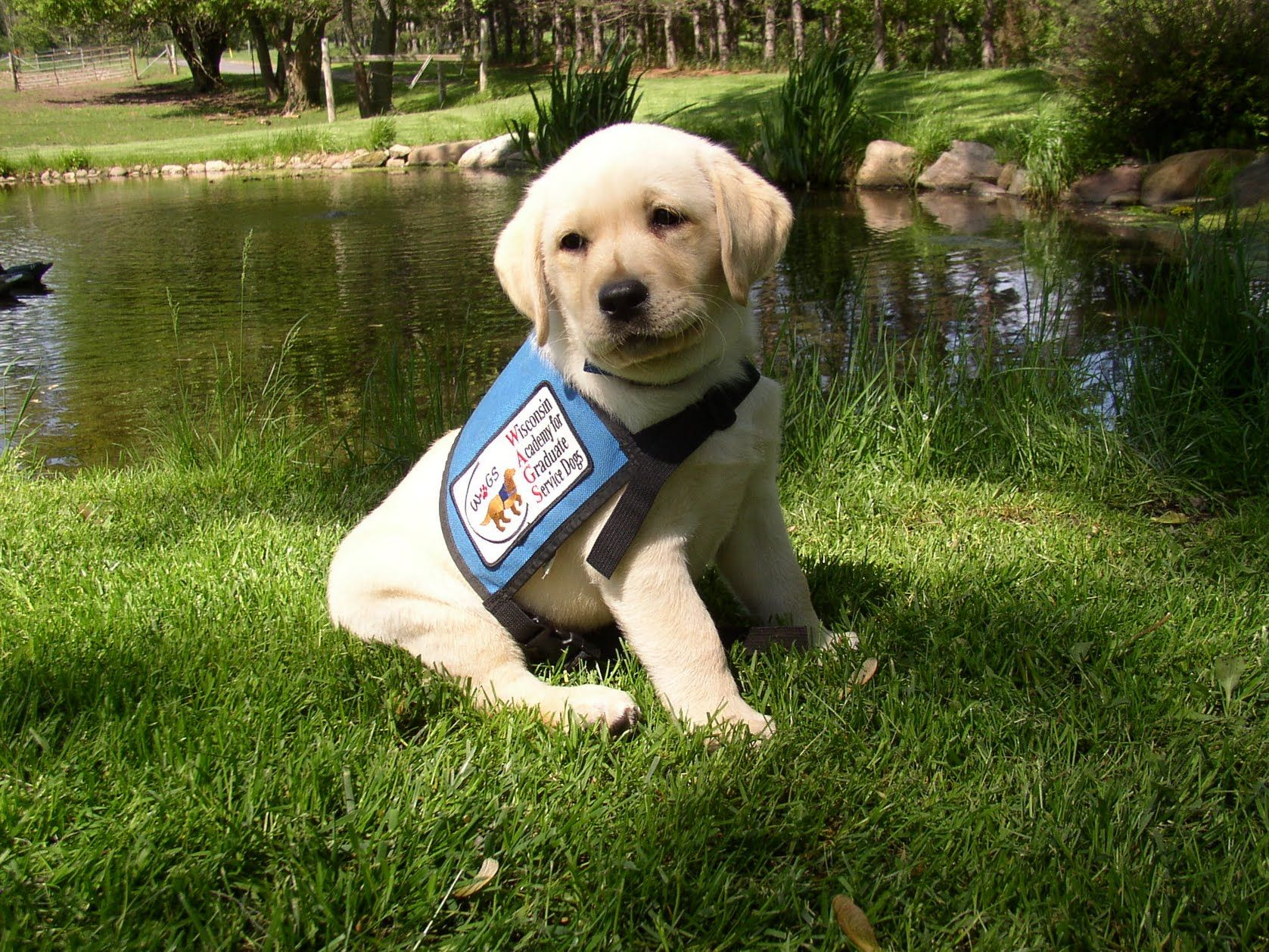 Service/Guide dog training Guide dog training, Dogs