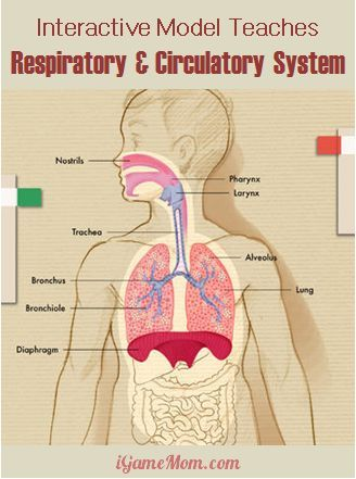 Teaching: Human Body - Circulatory System - Pinterest