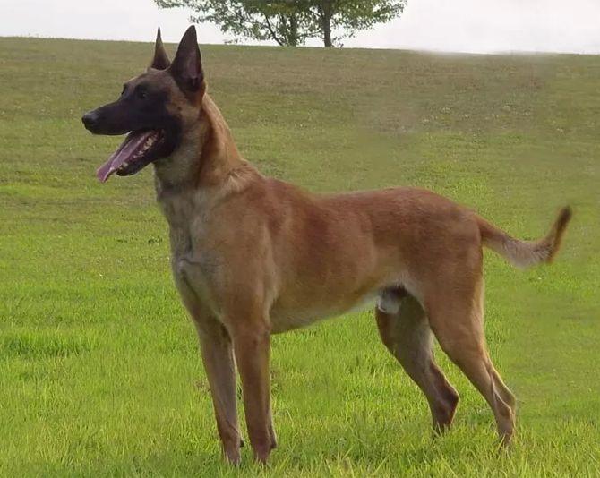Belgijski Ovcar Malinoa Belgian Malinois Dog Malinois Dog Belgian Malinois