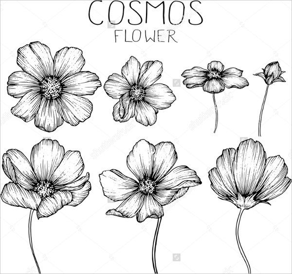 Image Result For Flower Drawing Drawings Drawings Cosmos Flowers Und Flower Sketches