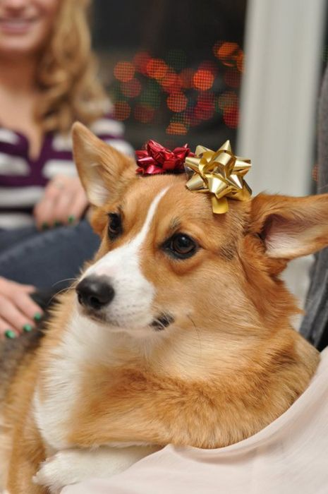 A Corgi Makes An Excellent Present Corgi Cute Corgi Cute Dog Memes