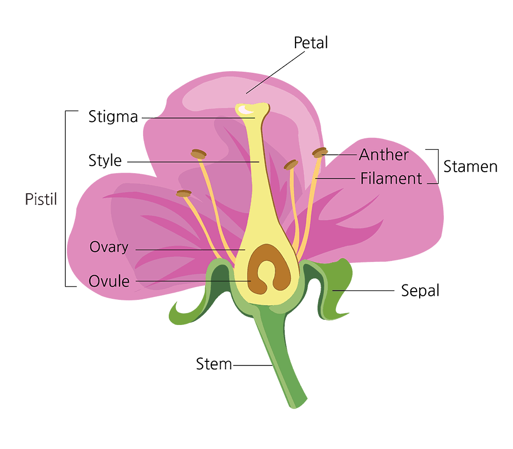 Parts Of A Flower And Their Functions With Diagram Green And Vibrant In 2020 Parts Of A Flower Diagram Of A Flower Flowers