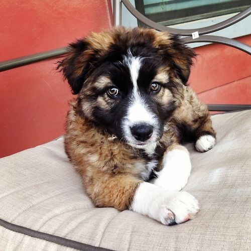 German Australian Shepherd Mix Puppy Shepherd Mix Puppies