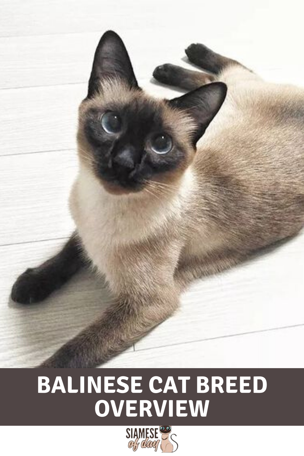 Balinese Cats Weigh Up To 6 To 11 Pounds And They Are About A Foot And A Half Long These Are Medium Sized Cats And They Hav
