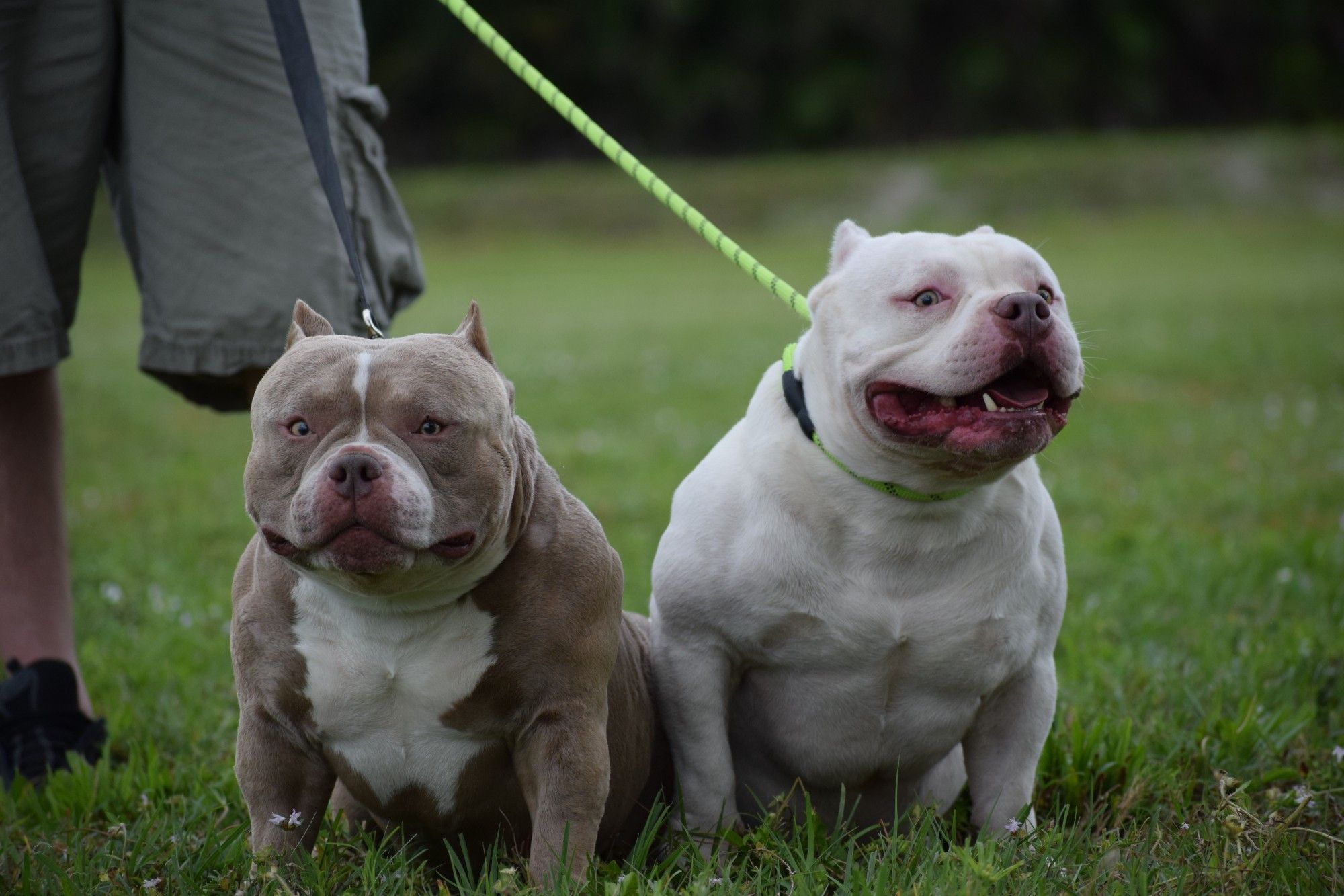 The Extreme Pocket Bully Pocket Bully American Bully American