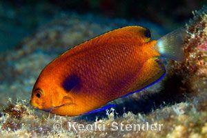 angelfishes family pomacanthidae angel fish saltwater fish tanks marine fish tanks angelfishes family pomacanthidae