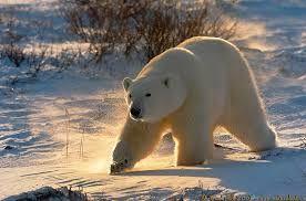 """Résultat de recherche d'images pour """"ours polaire"""""""
