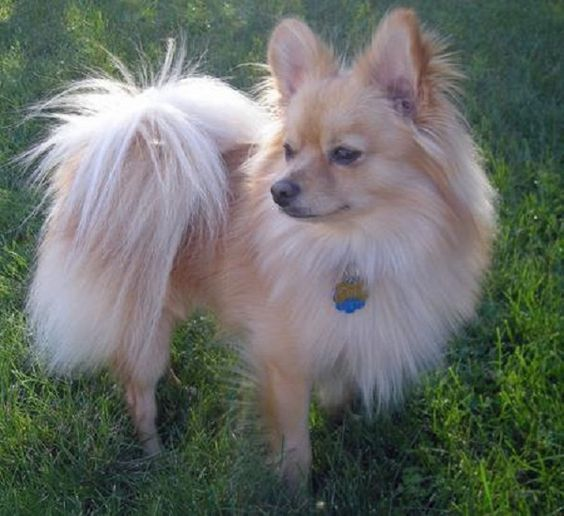 Papillon Pomeranian Mix Puppies For Sale Zoe Fans Blog Pooches