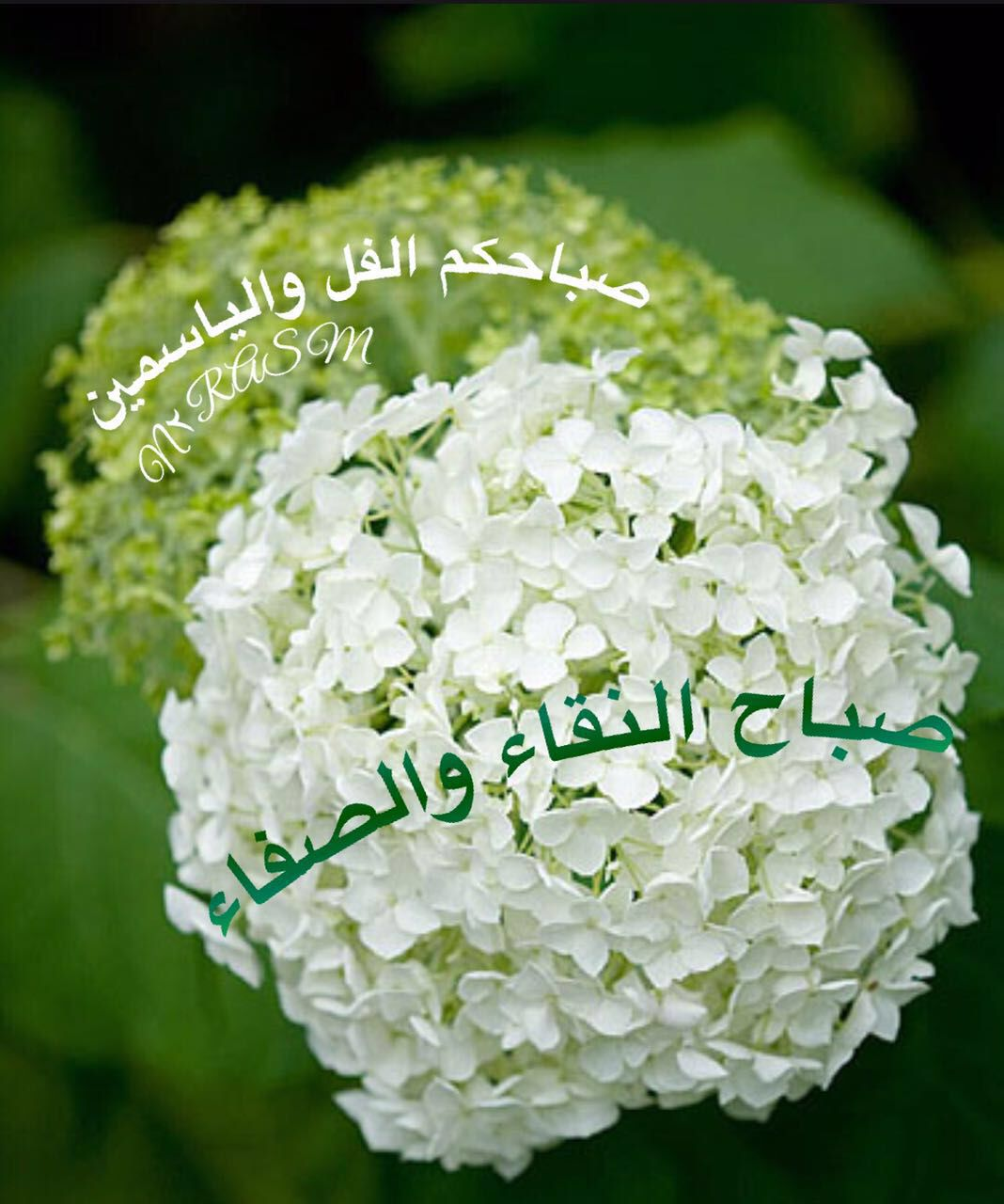 صباح الفل والياسمين Hydrangea Arborescens Annabelle Hydrangea Arborescens Beautiful Flowers Images