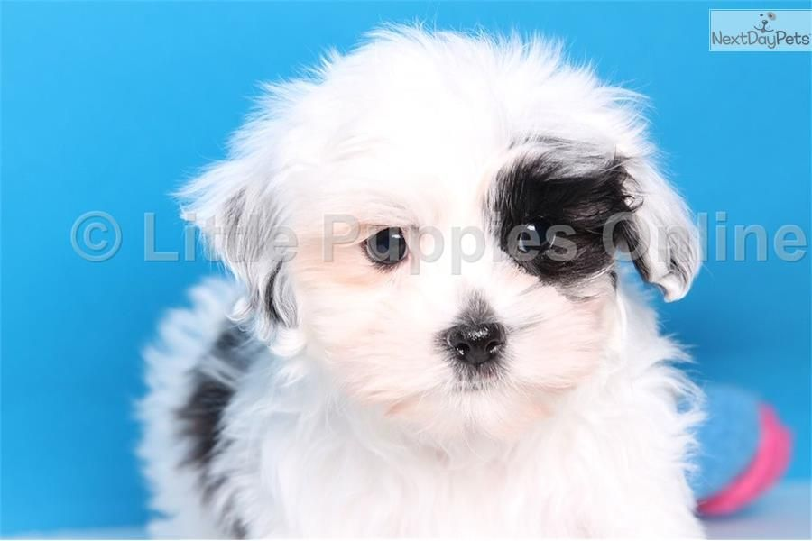 Diamond female malshi puppies puppies for sale dogs