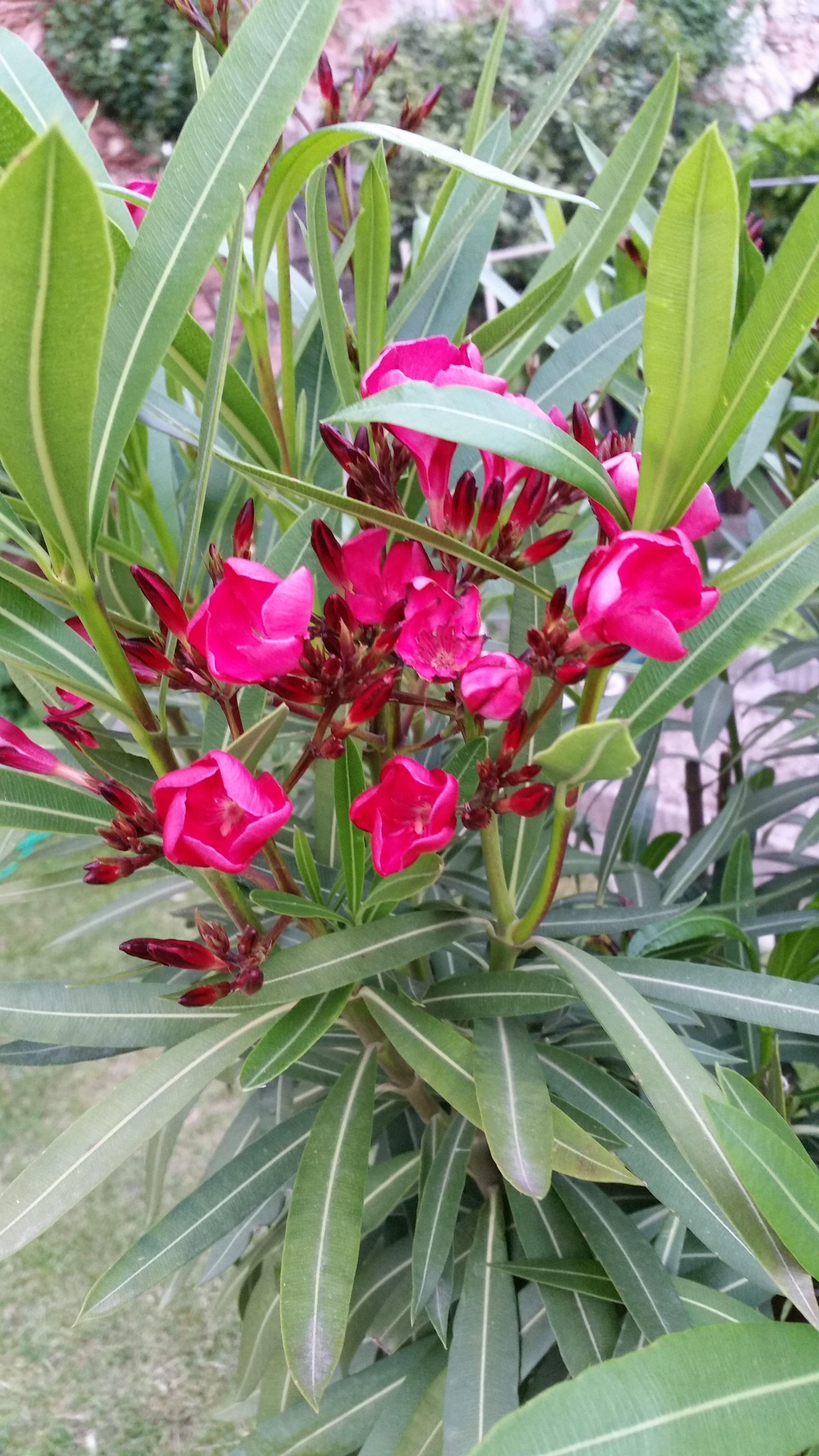 Oleander Botanischer Garten Bluhende Pflanzen Pflanzen