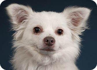 Chicago Il Chihuahua Mix Meet Tobo A Dog For Adoption Http Www Adoptapet Com Pet 15108502 Chicago Illinois Chihuah Chihuahua Mix Dog Adoption Chihuahua