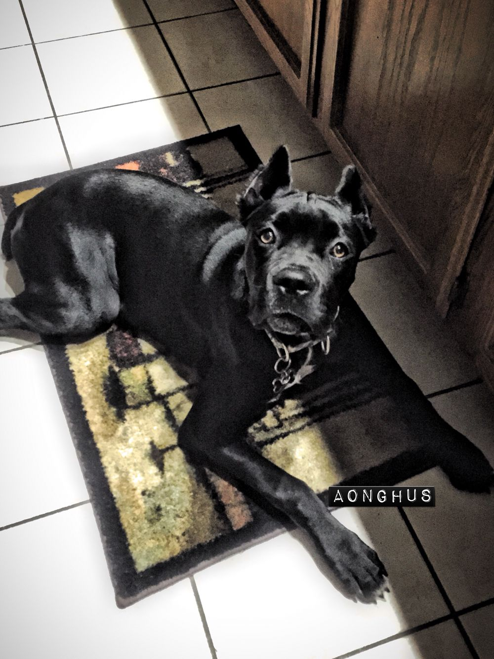 He Is So Special Cane Corso Italian Mastiff 6 Months Old Majestic Guardin Cane Corso Dog Cane Corso Mastiff Dog Breeds