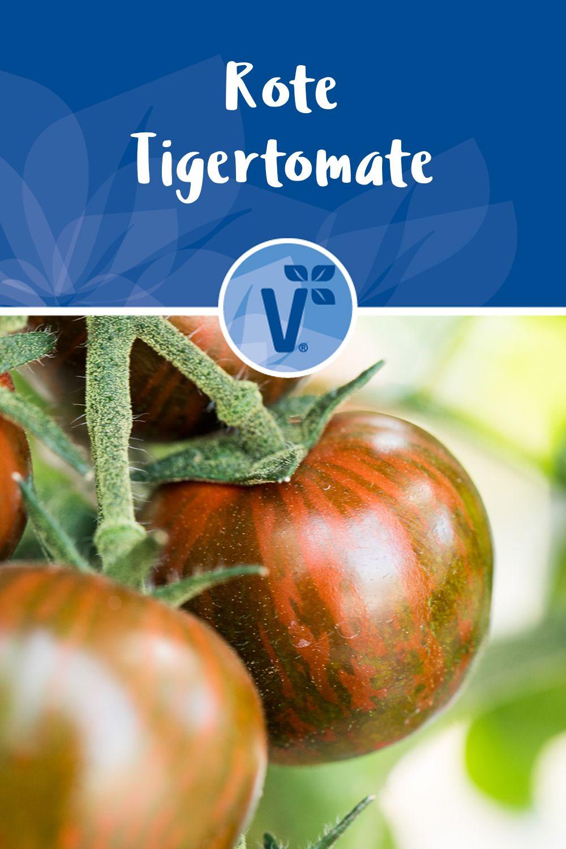 Rote Tigertomate Timenta Veredelt Tomaten Tomaten Sorten Tomaten Pflanzen