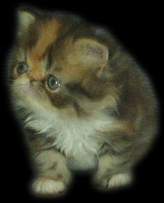 Bocasana's Warpaint, born 18th May 2002, Persian Brown Patched Tabby White