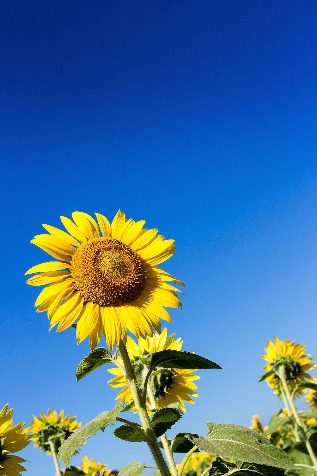青空とひまわり Girasoles Flores Plantas